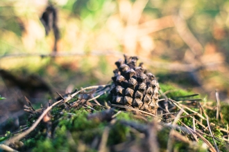 pine-cone-in-forest